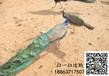 雏孔雀怎么饲养·小孔雀怎么养#湖北十堰哪里有卖小孔雀苗的