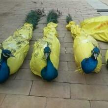 云南金禾珍禽养殖场出售景区观赏蓝孔雀开屏孔雀图片