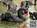 黑天鹅特种养殖黑天鹅养殖场黑天鹅养殖怎么样哪里有养殖的图片