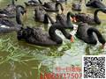 延庆黑天鹅幼苗多少钱一只#黑天鹅养殖技术图片