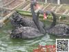 门头沟有没有养殖黑天鹅的#黑天鹅多少钱一只