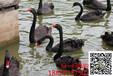 北京黑天鹅养殖#养殖黑天鹅销往哪里