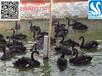 北京哪里有黑天鹅养殖场#黑天鹅养殖有哪些关键环节#黑天鹅苗
