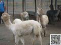 晋中市羊驼养殖山东金禾羊驼养殖场出售羊驼矮马欢迎前来参观指导!图片