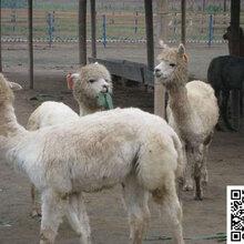 晋中市羊驼养殖山东金禾羊驼养殖场出售羊驼矮马欢迎前来参观指导!