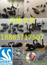 今日黑天鹅养殖价格行情#一对种黑天鹅的价格是多少