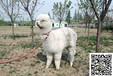 羊驼多少钱一只2017年羊驼价格萌宠羊驼出售