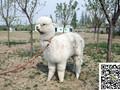 上海羊驼租赁价格出售出租羊驼羊驼养殖场常年供应小羊驼图片