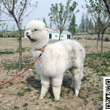 上海羊驼租赁价格出售出租羊驼羊驼养殖场常年供应小羊驼