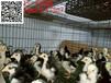 蓝孔雀养殖前景#蓝孔雀苗价格