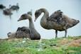 黑天鹅苗怎么卖#黑天鹅养殖场供应黑天鹅#出售黑天鹅苗