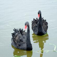 顺义哪里有养殖黑天鹅的#黑天鹅养殖前景报告