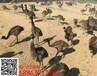 广东鸵鸟养殖场小鸵鸟多少钱#小鸵鸟脐带炎怎么防治