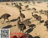 小鸵鸟价格#天津鸵鸟养殖场出售小鸵鸟苗成年鸵鸟