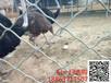 南平鸵鸟养殖场供应鸵鸟种苗价格#鸵鸟产蛋期的管理