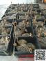 黔西南鸵鸟养殖出售小鸵鸟苗多少钱一只#0-90日龄鸵鸟的管理图片