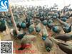 哪里有卖观赏孔雀的#观赏孔雀多少钱一只#蓝孔雀养殖效益怎样