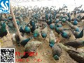 孔雀苗多少钱一只#孔雀苗价格#蓝孔雀养殖饮水育雏设备图片