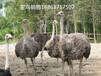 福州哪里有鸵鸟养殖场#出售小鸵鸟苗价格#鸵鸟繁殖管理