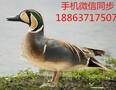 四川花脸鸭养殖#观赏鸭多少钱一只#花脸鸭价格图片