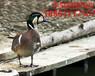 北京观赏鸭养殖场出售观赏鸭品种图片