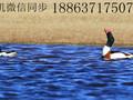 翘鼻麻鸭多少钱一只#赤麻鸭的养殖#哪里有观赏鸭养殖场图片