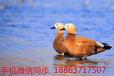 广西观赏鸭养殖观赏鸭好养吗#观赏鸭品种图片