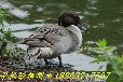 江西哪里有针尾鸭养殖场出售针尾鸭价格#针尾鸭图片