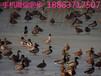哪里有赤麻鸭养殖场#赤麻鸭图片#赤麻鸭养殖技术