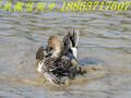 厦门哪里有观赏鸭养殖场#观赏鸭品种图片针尾鸭图片图片