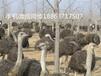 贺州哪里有鸵鸟养殖场供应小鸵鸟多少钱一只#鸵鸟的体格检查