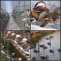 广西北海哪里有黑天鹅出售图片