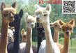 福建养殖骆驼可以吗#搞骆驼养殖怎么样