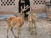 浙江哪里有出售羊驼矮马骆驼梅花鹿观赏动物的