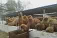 吉林哪里有骆驼养殖场#最新骆驼价格#阿富汗发生爆炸