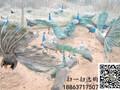 菏泽哪里有孔雀养殖场出售孔雀苗的图片