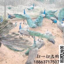 九江有没有孔雀养殖基地#九江孔雀多少钱一只#蓝孔雀种蛋的选择
