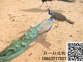3个月孔雀苗价格#宜春哪里有孔雀养殖基地图片