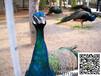 景德镇孔雀鸵鸟养殖基地#最新孔雀鸵鸟价格