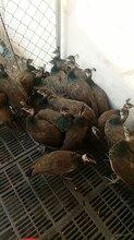 湖南郴州销售金禾蓝孔雀养殖场开屏蓝孔雀价格图片