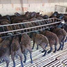 乌骨羊多少钱一只#兰坪乌骨羊孕羊饲养管理技术要点