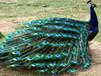 天津哪里有卖孔雀的#成年孔雀图片孔雀标本价格
