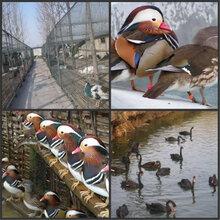 朝阳哪里有珍禽养殖场出售孔雀鸵鸟的#孔雀鸵鸟养殖技术