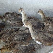 如何掌握人工养殖蓝孔雀的孵化技术#孔雀苗好养吗,怎么养殖