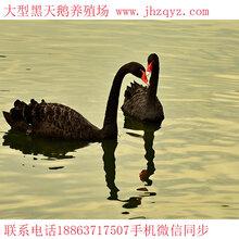 黑天鹅养殖技术,黑天鹅鹅苗多少钱一只,天津哪里有黑天鹅养殖场图片