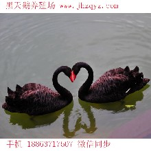观赏黑天鹅多少钱一对,运输死亡包赔货到付款图片
