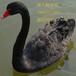 黑天鵝鵝苗多少錢一只,濟寧哪里有黑天鵝養殖場