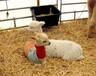 北京回收羊驼上门拉货现金结算欢迎来电