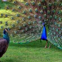 上海常年供应蓝孔雀价格观赏孔雀养殖场图片