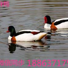 哪里卖水禽观赏鸭多少钱一只观赏鸭品种图片大全图片